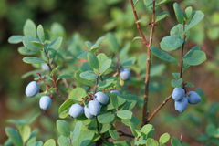 Mature fruits of blueberry Stock Image