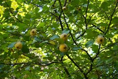 Mature fruits on branches of quince tree. Mature fruits on the branches of quince tree Stock Image