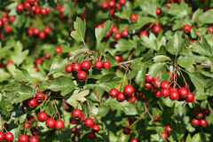 Mature fruits of the hawthorn. Fruits of a hawthorn hedge in late summer stock images