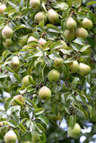 Mature fruits of a pear hang on a tree (Pyrus communis L.) Stock Photo