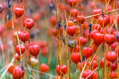 Mature fruits of physalis ordinary with orange red cups in the a. Physalis alkekengi, Solanaceae, dry lanterns of decorative red ground cherries of nightshade Stock Photos