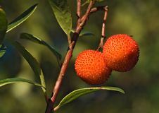 The mature fruits of the Strawberry Tree Royalty Free Stock Images