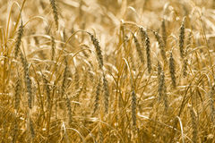 Mature grain. Field in autumn Stock Photo