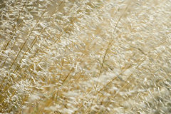 Mature Grain wheat field Stock Photography