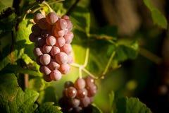 Mature grape Stock Photos