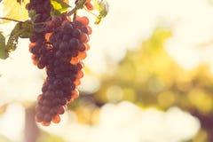 Mature grape Stock Image