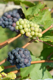 Mature grapes. White an blue grapes in harvest time Royalty Free Stock Photography