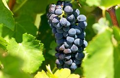 Mature grapes. Royalty Free Stock Images