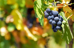 Mature grapes. Stock Photography