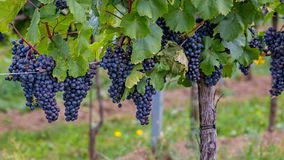 Free Mature Grapes In Autumntime In Austria, Burgenland Stock Images - 102145274