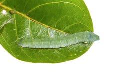 Mature Great Orange Tip caterpillar Stock Photos
