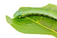 Mature Great Orange Tip caterpillar Royalty Free Stock Images