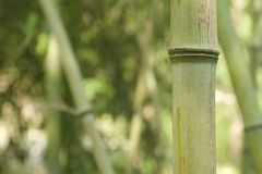 Mature green bamboo stalk in field Royalty Free Stock Image