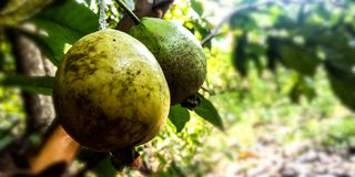 Mature guava fruit royalty free stock photography
