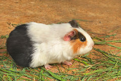 Mature guinea pig eating green grass Stock Image
