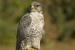 Mature Gyrfalcon (falco rusticolus). Gyrfalcon, the largest falcon in the world Stock Images
