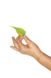 Mature hand and fresh leaf Royalty Free Stock Image