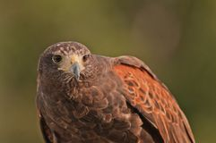 A mature hawk at rest Royalty Free Stock Images