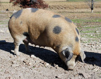 Mature hog in the morning sun Royalty Free Stock Photography