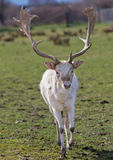 Mature horned fallow deer Stock Image