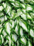 Mature Hosta Leaf Background Stock Image