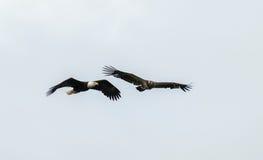 Mature and immature bald eagle Stock Image