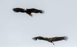 Mature and immature bald eagle Stock Photos