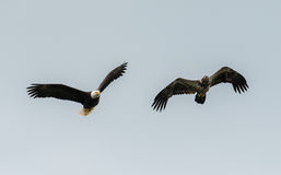 Mature and immature bald eagle Royalty Free Stock Images