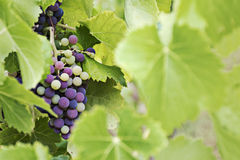 Mature and immature grapes of red wine behind blurred leaves Stock Photo