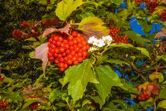 Mature juicy berries.Kalyna with green leaves royalty free stock photography
