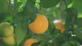 Mature juicy oranges ripen on a branch of citrus tree on a sunny day after a tropical rain. Ripe juicy orange ripens on a branch stock footage