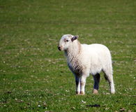 Mature lamb Royalty Free Stock Photography