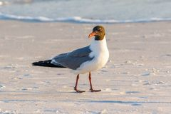 Mature Laughing Gull walking on the beach stock photo