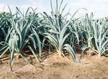 Mature leek plants from close Royalty Free Stock Photo