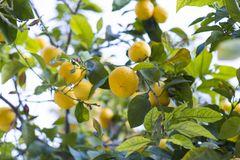 Mature lemons in a tree. Ready to be harvested Royalty Free Stock Photos