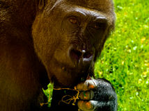 Mature lowland gorilla Stock Images
