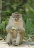 Mature Macaque monkey eating fruit. Stock Photo
