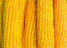 Mature maize ears closeup Royalty Free Stock Photo