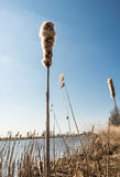 Mature male flower spike of Common Bulrush Royalty Free Stock Photos