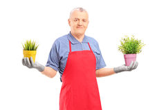 A mature male gardener with apron  holding two potted plants Stock Image