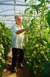 Mature male gardener working in greenhouse garden. Man working gardening business in greenhouse Stock Photography
