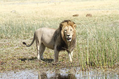 Mature Male Lion. A classic example of a well fed mature male lion showing his huge mane off royalty free stock photo