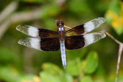 Mature Male Widow Skimmer Dragonfly Wings Spread. Selective focus foreground green background Stock Photos