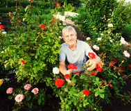 Mature Man caring for roses in the garden Stock Photography