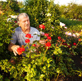 Mature Man caring for roses in the garden Royalty Free Stock Photo
