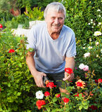 Mature Man caring for roses in the garden Royalty Free Stock Photography