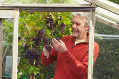 Mature Man Cultivating Grapes In Greenhouse Stock Image