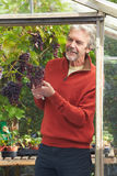 Mature Man Cultivating Grapes In Greenhouse. Looking Off Camera Stock Photos