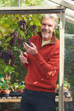 Mature Man Cultivating Grapes In Greenhouse Stock Photography