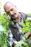 Mature man gardening on sunny day Royalty Free Stock Images